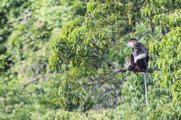 Carbon Balanced Printing - A mother and baby endangered Red-shanked Douc Langur
