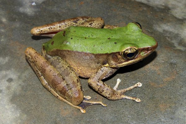 Carbon Balanced Printers - Chloronate Huia Frog in Khe Nuoc Trong, Vietnam. Credit Viet Nature Conservation Centre
