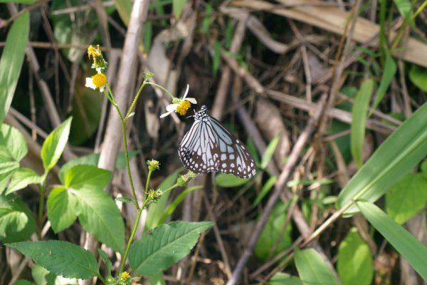 Carbon Balanced Printing Company - Glassy Tiger Butterfly. Credit Natalie Singleton