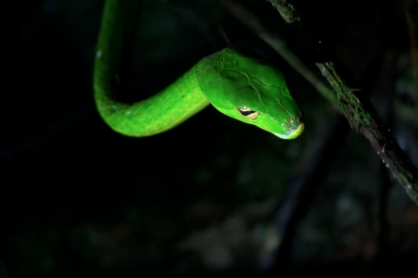 WLT Carbon Balanced Printer - Gunther's Whip Snake in Khe Nuoc Trong, Vietnam. Credit Viet Nature
