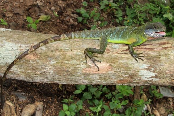 Carbon Balanced Printing Company - Indochinese Water Dragon in Khe Nuoc Trong, Vietnam. Credit Viet Nature Conservation Centre