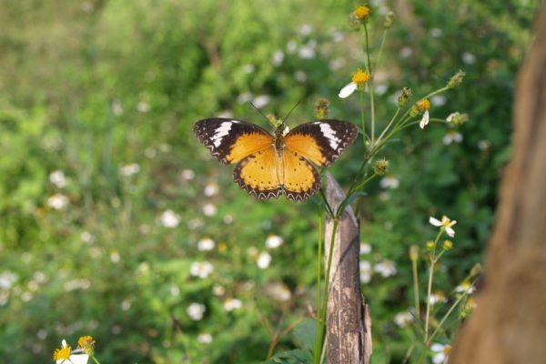 Carbon Balanced Paper Printing - Male Leopard Lacewing